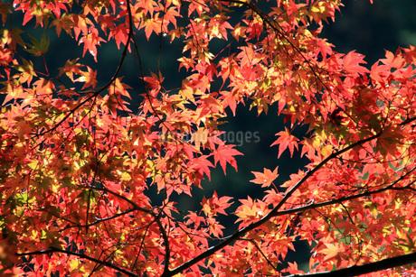 紅葉の写真素材 [FYI03397652]