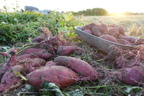 サツマイモの写真素材 [FYI03397713]