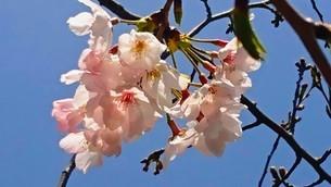 桜の写真素材 [FYI03397992]