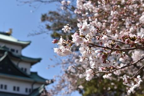 桜と名古屋城の写真素材 [FYI03398001]