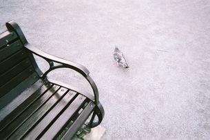 鳩 /  pigeonの写真素材 [FYI03398138]