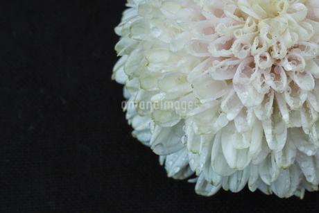 菊の写真素材 [FYI03398221]