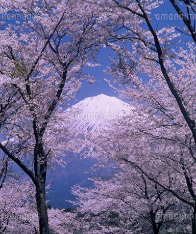 桜と富士山 の写真素材 [FYI03398548]
