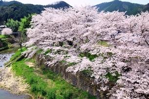 笠置山自然公園 打滝川と桜の写真素材 [FYI03398828]