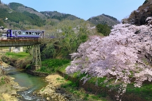 笠置山自然公園 打滝川と桜の写真素材 [FYI03398829]
