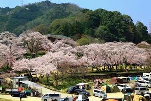 笠置山自然公園 笠置キャンプ場と桜の写真素材 [FYI03398833]