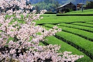 茶畑と桜の写真素材 [FYI03398836]