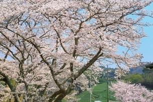 茶畑と桜の写真素材 [FYI03398841]