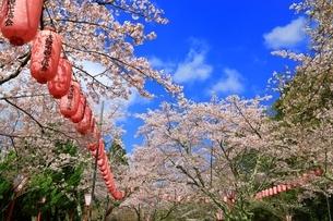 石上神宮外苑公園の桜の写真素材 [FYI03398842]