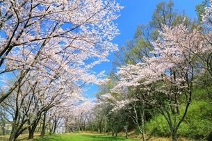西乗鞍古墳公園の桜の写真素材 [FYI03398860]