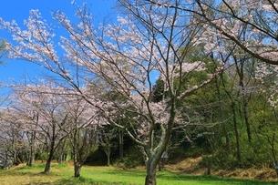 西乗鞍古墳公園の桜の写真素材 [FYI03398861]