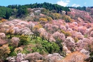 吉野山の桜の写真素材 [FYI03398910]