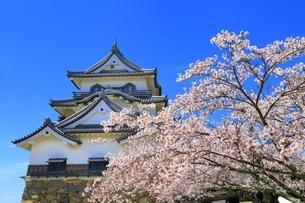 彦根城の桜の写真素材 [FYI03399028]