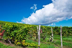 ブドウ園 ふらのワインの写真素材 [FYI03399266]