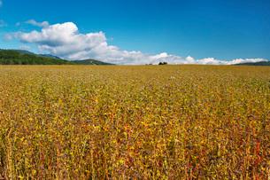ソバ畑の写真素材 [FYI03399293]