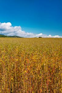 ソバ畑の写真素材 [FYI03399294]