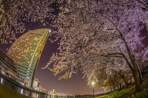 横浜・みなとみらいの夜桜の写真素材 [FYI03399805]