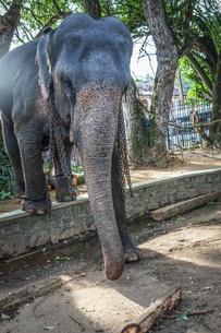 スリランカ・キャンディーの象の写真素材 [FYI03399834]