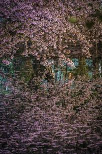 井の頭公園の夜桜の写真素材 [FYI03399843]