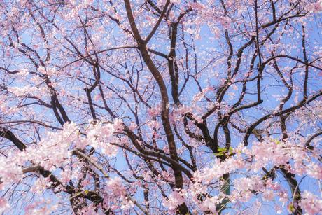 枝垂れ桜と晴天の青空の写真素材 [FYI03399851]