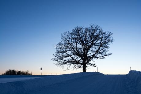 夕暮れの丘に立つ冬木立 美瑛町の写真素材 [FYI03399888]