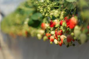 苺のイメージの写真素材 [FYI03399891]