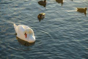 ストックホルム・リラ湖の白鳥郡の写真素材 [FYI03399917]