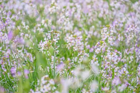 春の花畑の写真素材 [FYI03399919]