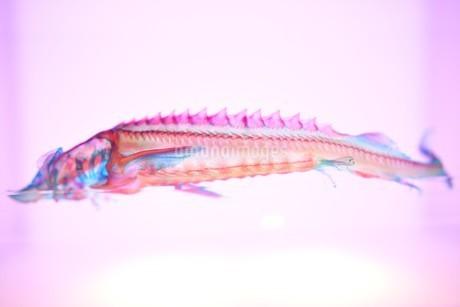 透明標本の写真素材 [FYI03399951]