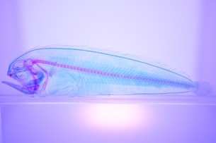 透明標本の写真素材 [FYI03399952]
