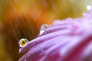 花としずくの写真素材 [FYI03400088]