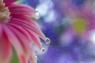 花としずくの写真素材 [FYI03400104]