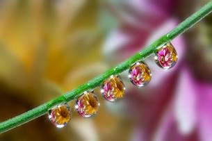 花としずくの写真素材 [FYI03400110]