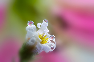 花としずくの写真素材 [FYI03400128]