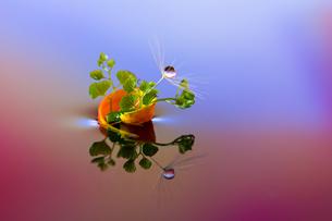 水に浮かぶ花としずくの写真素材 [FYI03400141]