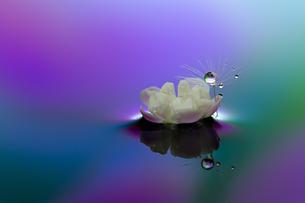 水に浮かぶ花としずくの写真素材 [FYI03400150]
