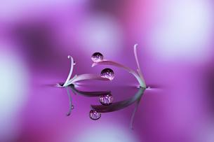 水に浮かぶ花としずくの写真素材 [FYI03400152]