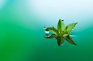 水に浮かぶ花としずくの写真素材 [FYI03400154]