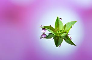 水に浮かぶ花としずくの写真素材 [FYI03400156]
