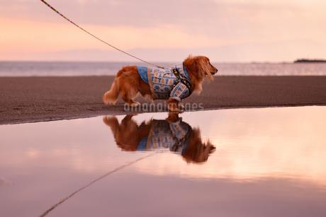 水鏡に映る犬の写真素材 [FYI03400291]