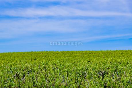 静岡県富士市大淵笹場の茶畑の写真素材 [FYI03400297]