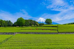 静岡県富士市大淵笹場の茶畑の写真素材 [FYI03400298]