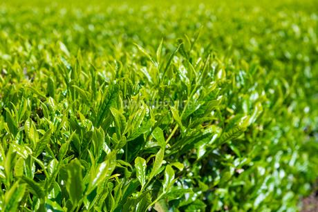 静岡県富士市大淵笹場の茶畑の写真素材 [FYI03400299]