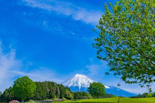 静岡県富士市大淵笹場の茶畑の写真素材 [FYI03400300]