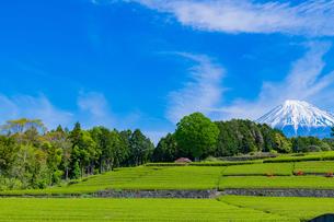 静岡県富士市大淵笹場の茶畑の写真素材 [FYI03400301]