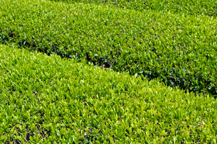 静岡県富士市大淵笹場の茶畑の写真素材 [FYI03400302]