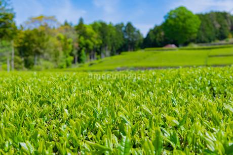 静岡県富士市大淵笹場の茶畑の写真素材 [FYI03400303]