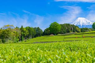 静岡県富士市大淵笹場の茶畑の写真素材 [FYI03400305]