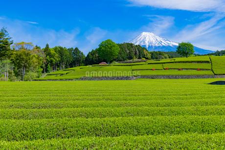 静岡県富士市大淵笹場の茶畑の写真素材 [FYI03400306]