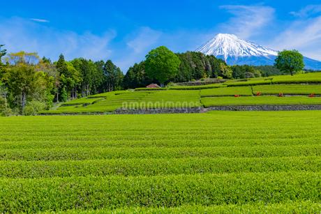 静岡県富士市大淵笹場の茶畑の写真素材 [FYI03400307]